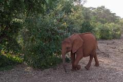 Orphaned Again (Hector16) Tags: 2014 kenya wildlife emakoko davidsheldrickelephantorphanage nairobi ke orphan loxodontaafricana elephantsanctuary ngc npc