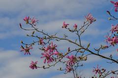 Magnolia (frankmh) Tags: tree blossom magnolia sofiero helsingborg skåne sweden