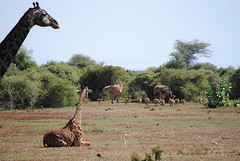 Масайский жираф, Giraffa camelopardalis tippelskirchi, Masai Giraffe (Oleg Nomad) Tags: масайскийжираф giraffacamelopardalistippelskirchi masaigiraffe африка танзания сафари маньяра животные природа africa tanzania manyara animals nature travel safari