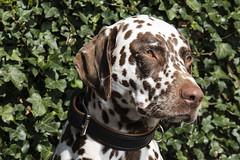 Pien (Jan Sluijter) Tags: pien dog dalmatian dalmatier
