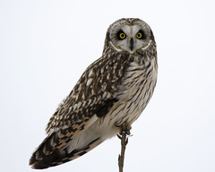 Sort-eared Owl - Cass county, central Illinois (emace) Tags: shortearedowl nature animal wildlife bird owl raptor perched winter sitem casscounty centralillinois