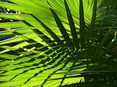 Palmetto (alansurfin) Tags: serenoarepens sawpalmetto sunlight green palm palmetto palmtree evergreen fronds shadows florida