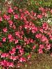 "Azaleas blooming (Sage Girl Photography) Tags: ""iphone7plus"" ""sagegirl"" coastal wilmington ""northcarolina"" backyard nature outdoor azalea spring flower pink"