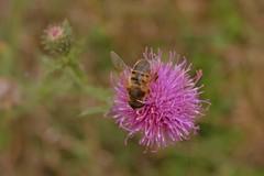 DSC_2943 (emina.knezevic) Tags: nature naturephotography bee burdock wildlife wildlifephotography insects insect macro flower grass nikon nikonphotographer nikond3200