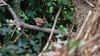 a wren in a typical wren position (Franck Zumella) Tags: bird oiseau nature hidden hidding cacher wildlife tree arbre branch branche wren troglodyte mignon