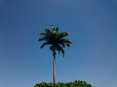 The English Riviera (raphagodoy) Tags: palm tree green blue sky brazil geometry symmetry sp palmeira árvore verde azul céu brasil geometria simetria raphael godoy de oliveira