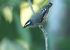 Striated Pardalote (Pardalotus striatus) (Greg Miles) Tags: striatedpardalote pardalotusstriatus gaagalwanggaannationalpark scottshead newsouthwales nsw australia