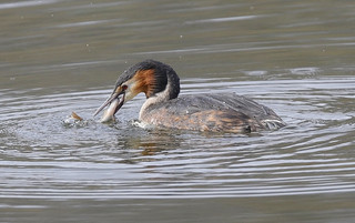 G.C.GREBE and Perch....Powys