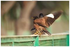 Common Myna (मैना) - Acridotheres tristis (jhureley1977) Tags: birds birding birdsofindia birdsindia commonmyna मैना acridotherestristis rspb ashjhureley avibase naturesvoice bbcspringwatch jabalpur delhi