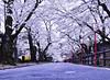 At Sakurazaka._SDI0584 (nabe121) Tags: sigma sd quattro sdquattro foveon foveonx3 samount 1770mm f284 dc macro os hsm contemporary c013 npc さくら cherry blossom 桜 サクラ 福島県 fukushima ふくしま 福島 うつくしまふくしま 二本松市 岳温泉 nihonmatsu dakeonsen 桜坂 sakurazaka