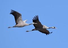 Grous / Cranes (anacm.silva) Tags: grous cranes ave bird wild wildlife nature natureza naturaleza grou crane aves birds lakehornborga sweden suécia sverige escandinávia grusgrus coth5