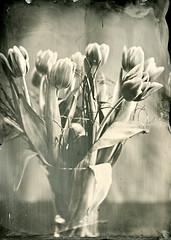 The fourth sign of spring (Rosenthal Photography) Tags: tulpen tulpe nasplatte anderlingen ferrotypie 13x18 leaslandscape7 vase kollodium 20180403 städte stilleben f8 tintypie familie analog 4min dörfer siedlungen tulip spring indoor fkd industar i51 210mm f45 wetplate tintype ferrotype collodion epson v800 blackandwhite
