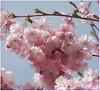 Fleurs de prunus - Prunus flowers - Explore #104- 2018-04-16 (Jogabi - Michèle) Tags: coth5 naturethroughthelens sunrays5