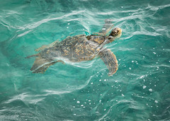 UP FOR AIR (Sandy Hill :-)) Tags: turtles greenseaturtles kauai hawaii ocean sea tropical nature reptiles sandyhillphotography