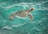 UP FOR AIR (Sandy Hill :-)) Tags: turtles greenseaturtles kauai hawaii ocean sea tropical nature reptiles sandyhillphotography