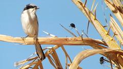 Desert grey shrike (Alex Srdic) Tags: shrike bird morocco merzouga insect tree
