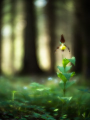 Fairytale forest (ciwi.photography) Tags: ladyslipper forest wald fairytale bokeh blurred lensbabyvelvet lensbaby nikon hegau germany badenwürttemberg flower spring light grass plant pflanze frauenschuh cypripedioideae orchidee nature naturschutz orchideen lady slipper