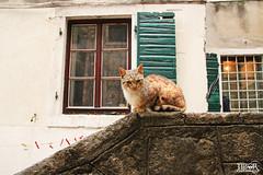 Cat @ Kotor (morbidtibor) Tags: kat cat kater poes pussycat kitten kotor cattaro monenegro