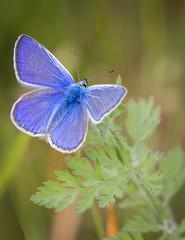 Common Blue (male) (Aranelinya) Tags: commonblue commonbluebutterfly bluebutterfly blue butterfly canon80d ef100400mmii rspbstaidans