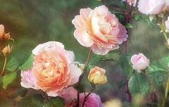 Roses anglaises (mamietherese1) Tags: world100f expression artdigital untouchabledream netartii 200v200c2000v earthmarvels50earthfaves painterly mmelle floralessence