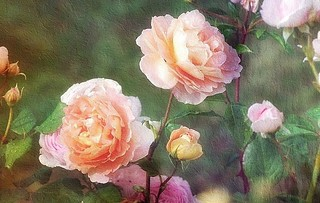 Roses anglaises