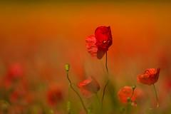 feel the summer (SonjaS.) Tags: feelthesummer summer sommer mohn poppys tiefenschärfe schärfentiefe bokeh badenwürttemberg deutschland sonjasayer licht light gegenlicht backlight tele macro flowerpower poppies
