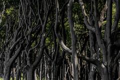 Reaching out from behind... (michael_hamburg69) Tags: nienhagen germany deutschland mecklenburgvorpommern rostock wald wood trees gespensterwald nienhägerholz laubbäume buchen eichen mischwald oak beech tree