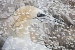 Gannet Double Exposure (Daniel Trim) Tags: northern gannet morus bassanus saltee great island bird nature sea colony photography wildlife camera double exposure