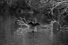 Preparation is half the battle. (Chiraag_Krishna) Tags: neyyar dam birds cormorant fishing rehabilitation greenery wildlife nature