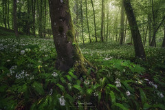 Wild Garlic (Manuel.Martin_72) Tags: winterthur dättnau darkmood darkness drama enchanting fairytale lightdrama magic fields flowers forest grass green moss leaves trees woods wbpa zürich switzerland ch
