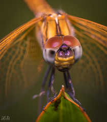 D75_3900 (@sumitdhuper) Tags: wallshare beauty dragonfly colors macro nature insect wildlife