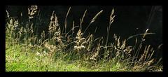 Summer Gold (M E For Bees (Was Margaret Edge The Bee Girl)) Tags: green garden grass growing sun summer flowering black light canon countyside heat gold golden