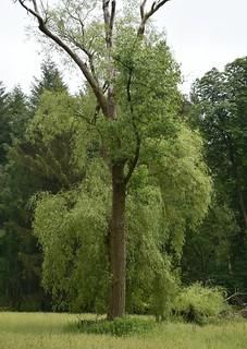 Im Baccumer Wald - Feuchtwiese mit Trauerweide; Lingen (2)