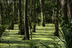 the swamp (photos4dreams) Tags: susannahvvergau photos4dreams p4d photos4dreamz geltingerbirk norddeutschland ostsee balticsea libellen libelle dragonfly damselfly creature nature naturschutzgebiet naturschutz natur erholung