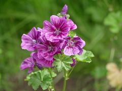 Zebrina mallow in my garden (lovesdahlias 1) Tags: malva mallow flowers blossoms gardens nature summer newengland