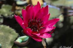 Waterlily (Barbara.Elizabeth) Tags: nybg ny garden sonya6000 botanical closeup pink waterlily