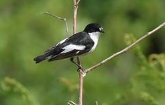 Male Pied Flycatcher (Cal Killikelly) Tags: male pied flycatcher bird
