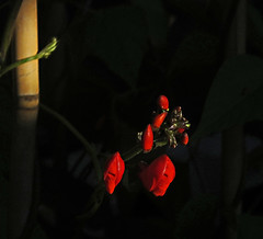 Runner  Beans (Paul Hillman.) Tags: beans flower plant colour color lighting runner