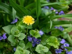 Dandelion (PJD-DigiPic) Tags: pjddigipic dandelion yellow blue green nature
