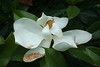 Magnolia grandiflora (Wolfgang Bazer) Tags: magnolia grandiflora southern bull bay immergrüne magnolie evergreen tree baum blüte flower blossom rovinj rovigno istrien istria kroatien croatia