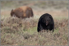 Tower Black Bear 7453 (maguire33@verizon.net) Tags: bison tower yellowstone yellowstonenationalpark bear blackbear wildlife wyoming unitedstates us