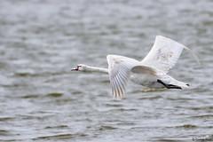 Mute swan (Corine Bliek) Tags: bird birds vogel vogels nature natuur wildlife swans zwanen bif flight vliegen meer watervogels cygnusolor