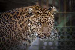 Julius - Leopard (DeanB Photography) Tags: animal animals tiere tier tierwelt tierfotograf zoo zoohannover zootiere hannover canon julius jaguar löwe lion wild wolf wildpark wolves