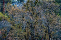 Yosemite Valley - Autumn Colors_1370 (www.karltonhuberphotography.com) Tags: 2015 autumn colorful fall flora forest horizontalimage invigorating karltonhuber landscape leaves morninglight nature oaktrees pattern peaceful relaxing rocks texture therapeutic trees wandering yosemite yosemiteconservancy yosemitenationalpark yosemitevalley