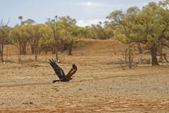 Wedge-tailed Eagle (Aquila audax) (darrylkirby) Tags: australian australianbirds australianwildlife birds birdsofaustralia wedgetailedeagle