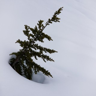 obligatory @cypressmtn beautiful tree shot next to a cross-country skiing trail 20180331_124612