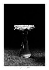 Gerbera (lupuszka) Tags: monochrome gerbera flower closeup macro flowers plant flora lights light natural naturallight blackandwhite bw analog film fuji neopan acros fujineopanacros nikonfe nikon