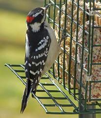 Downy Woodpecker male_27Feb2018 (Bob Vuxinic) Tags: bird downywoodpecker picoidespubescens male suetfeeder cumberlandplateau crossvilletn 27feb2018