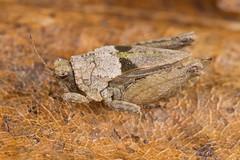 Tetrix tenuicornis (NakaRB) Tags: insecta orthoptera tetrigidae 2015 tetrixtenuicornis