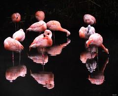 Flamingo light and reflections! (Nina_Ali) Tags: flamingo reflection bird avian twycrosszoo april2018 backlit 7dwf